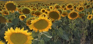 A field of sunflowerws